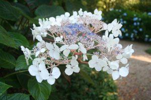 hydrangea-asper-var-robusta-2016