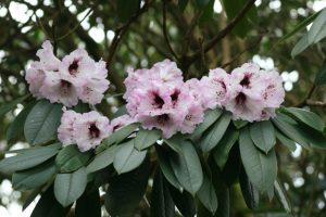 rhododendron-sutchuense-1