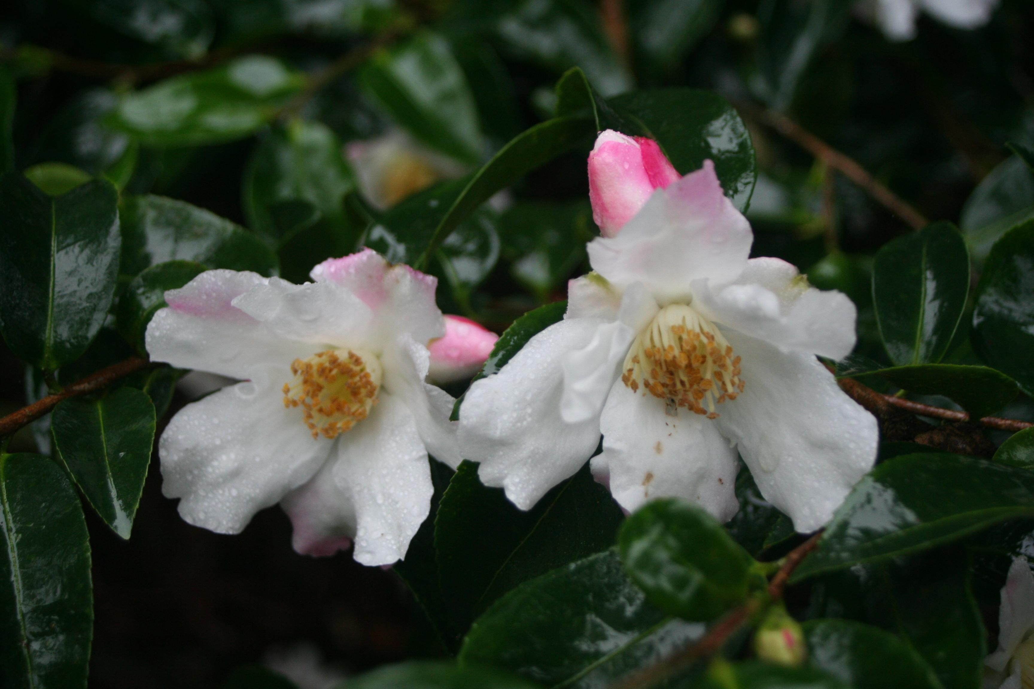 Camellia 'Yoimachi' (1)