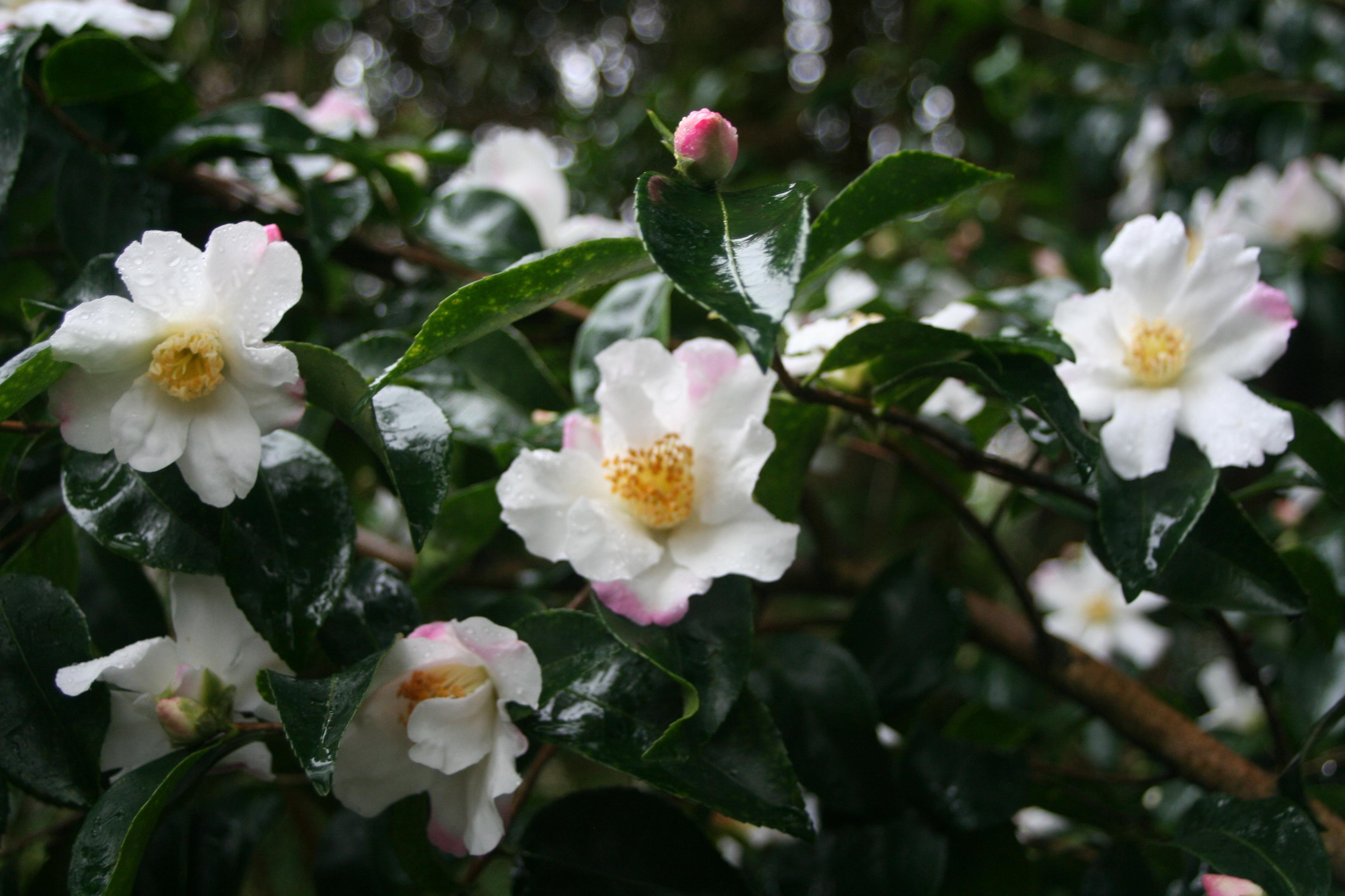 Camellia 'Yoimachi' (3)