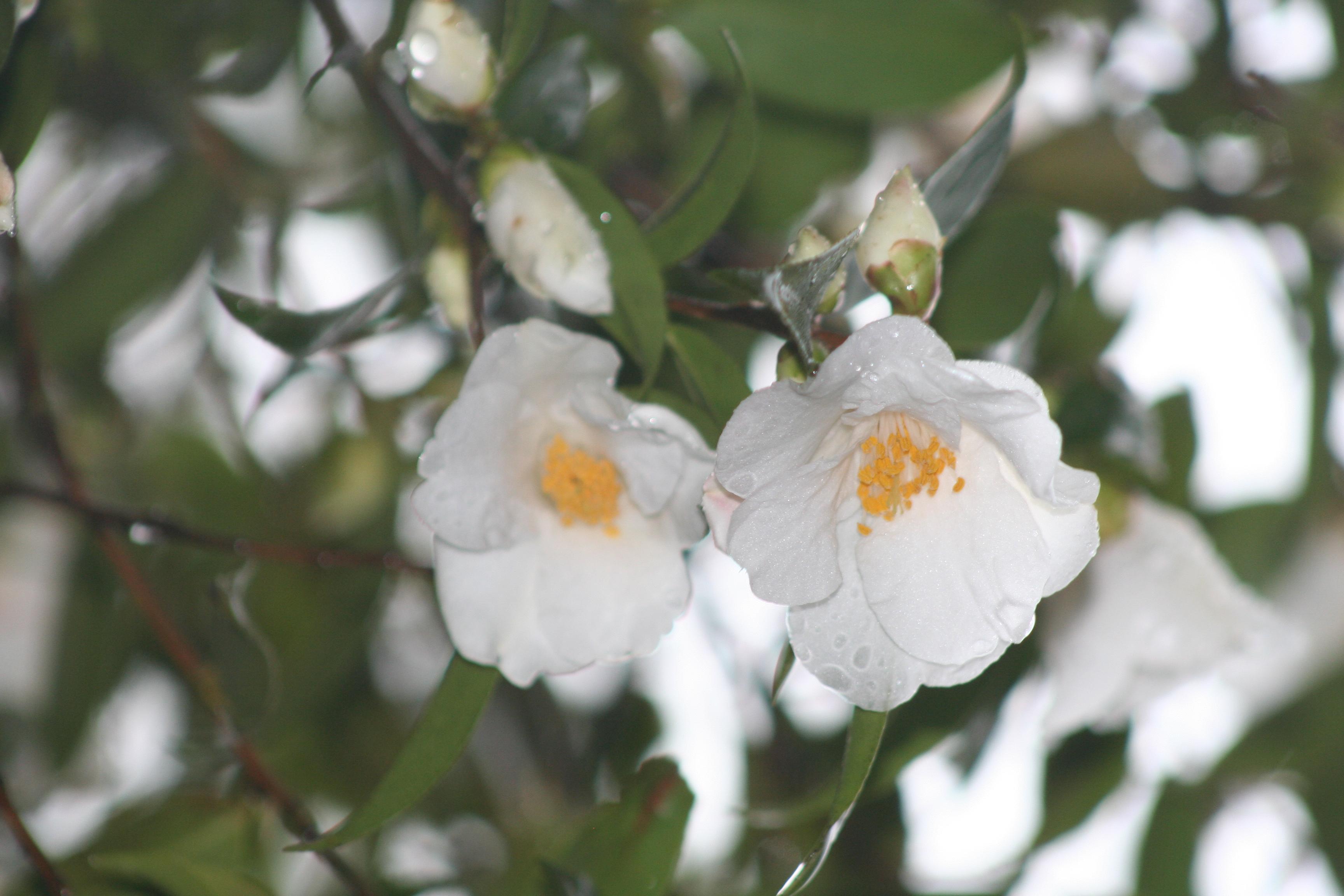 Camellia cuspidata var.cuspidata 2011 (2)