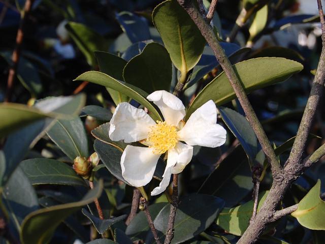 Camellia drupifera
