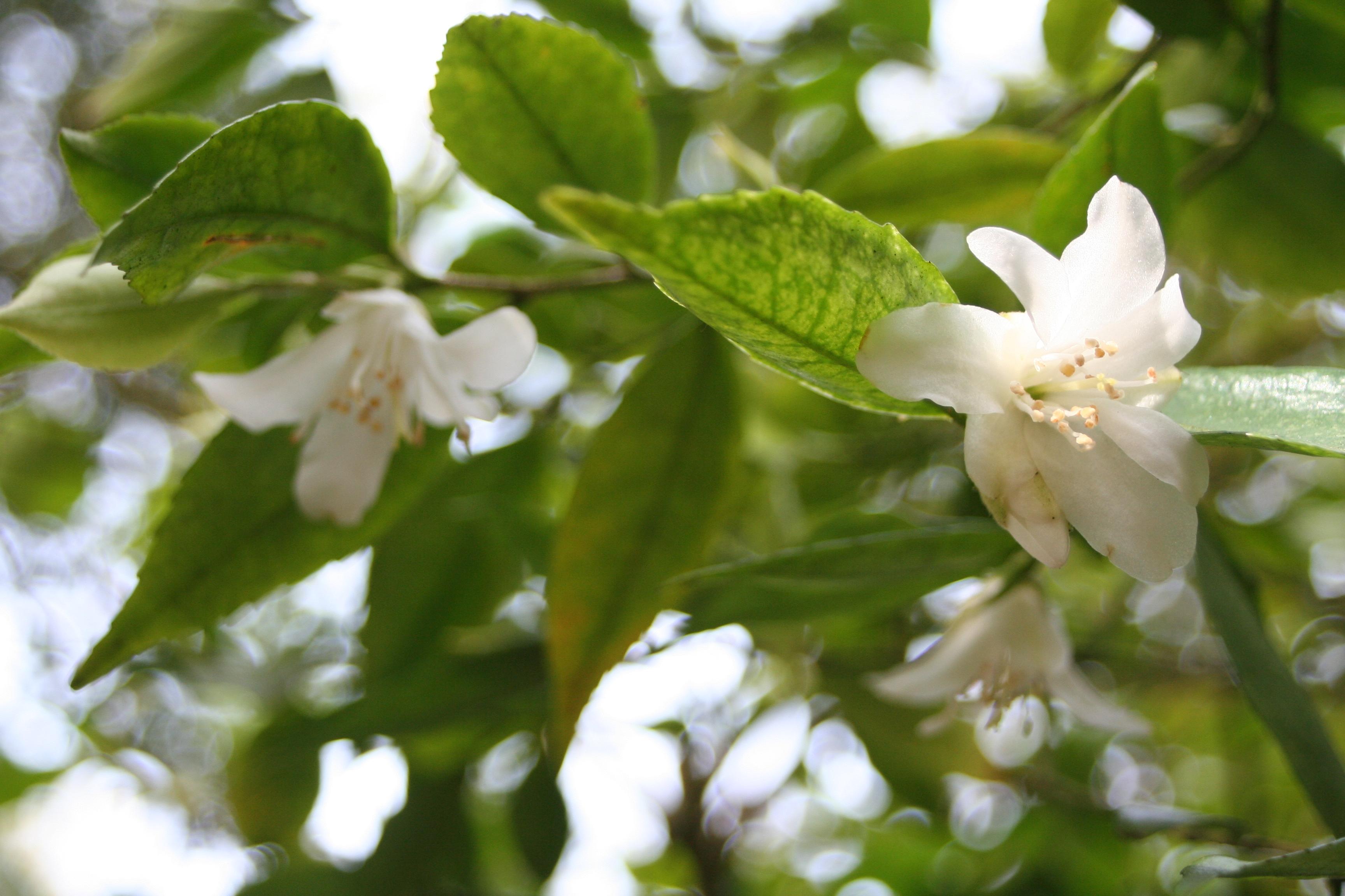 Camellia fraterna 2010 (3)