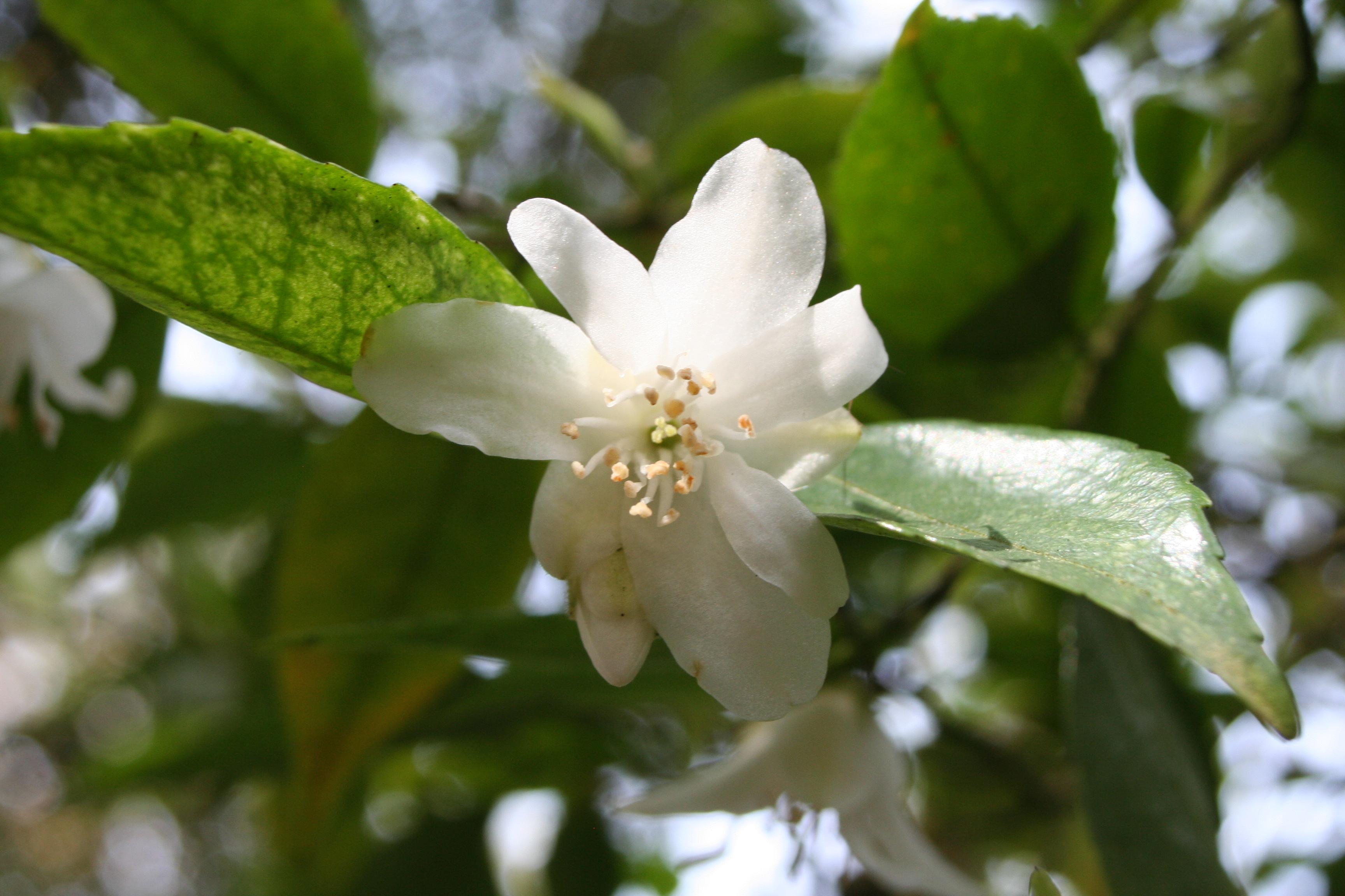 Camellia fraterna 2010