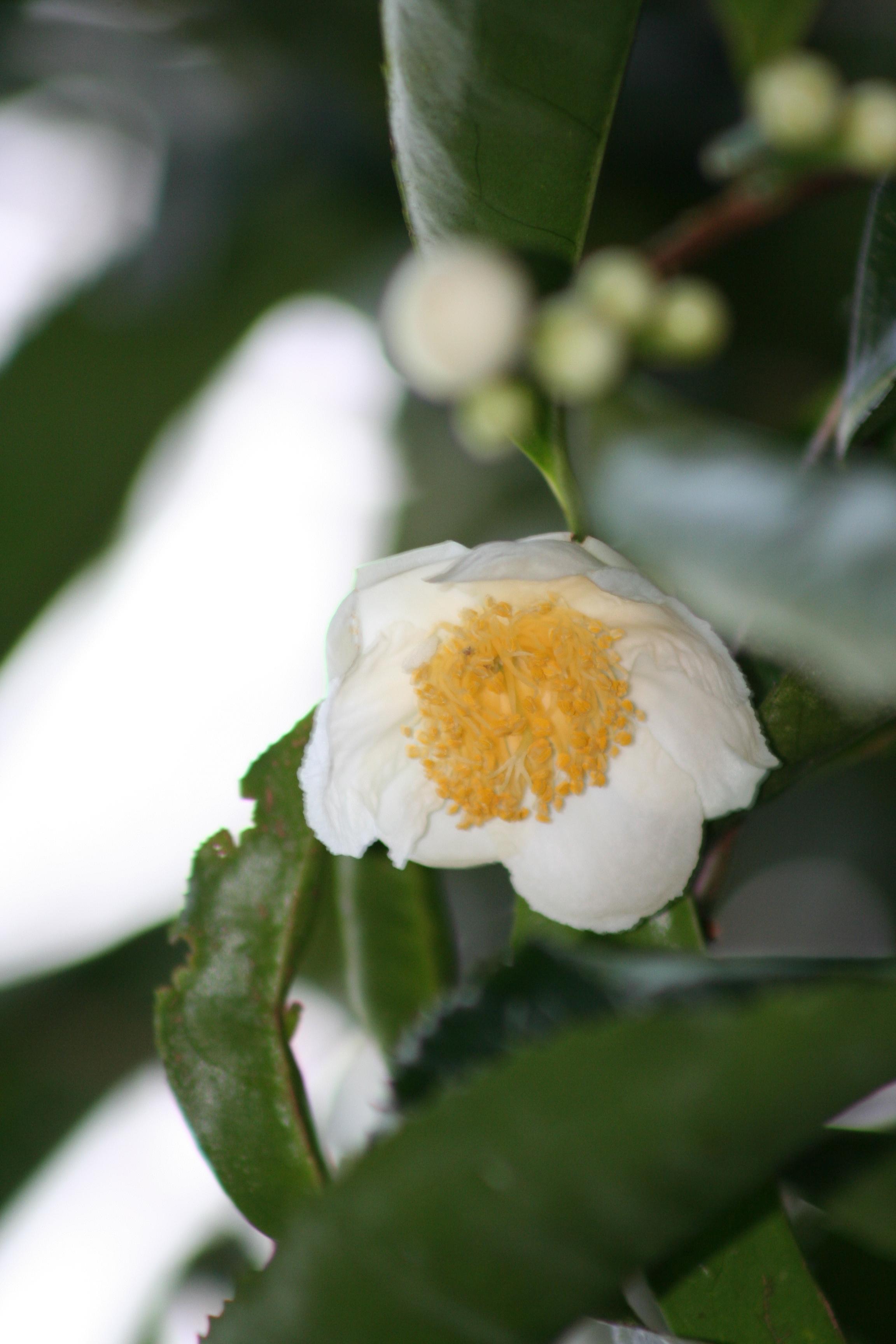 Camellia granthamiana ID.20100012 (1)