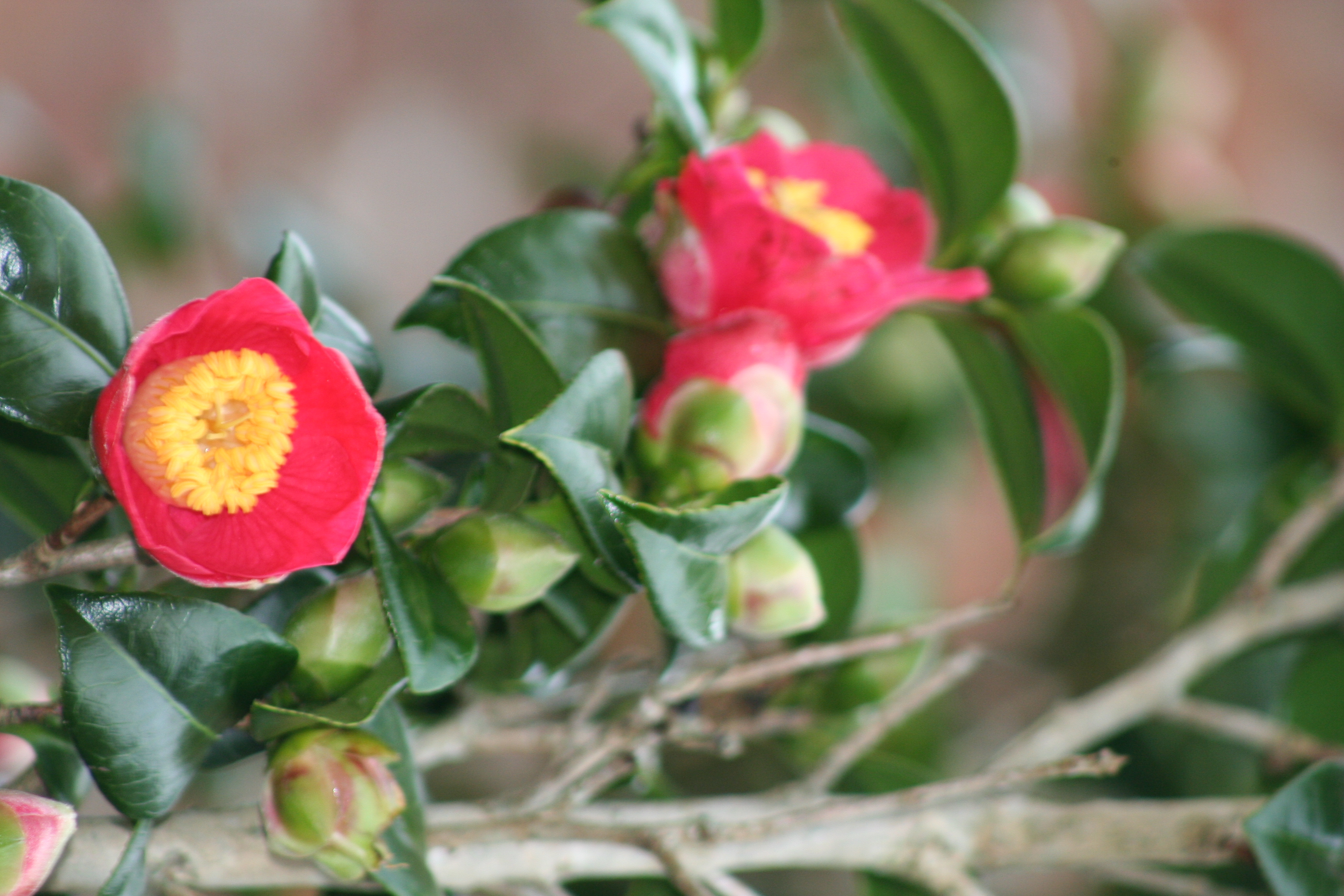 Camellia japonica (2)
