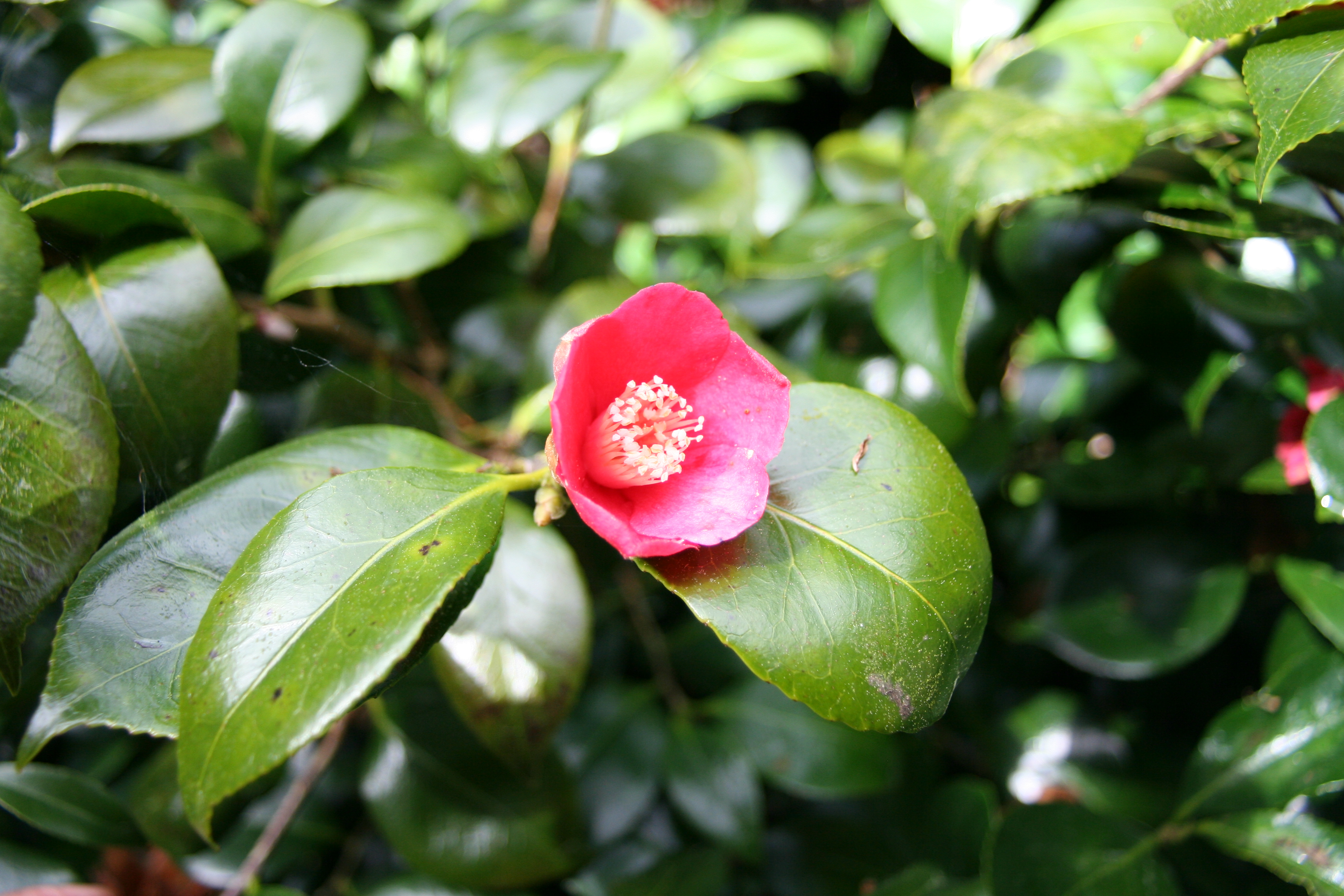 Camellia japonica 'Trewithen Protrate'