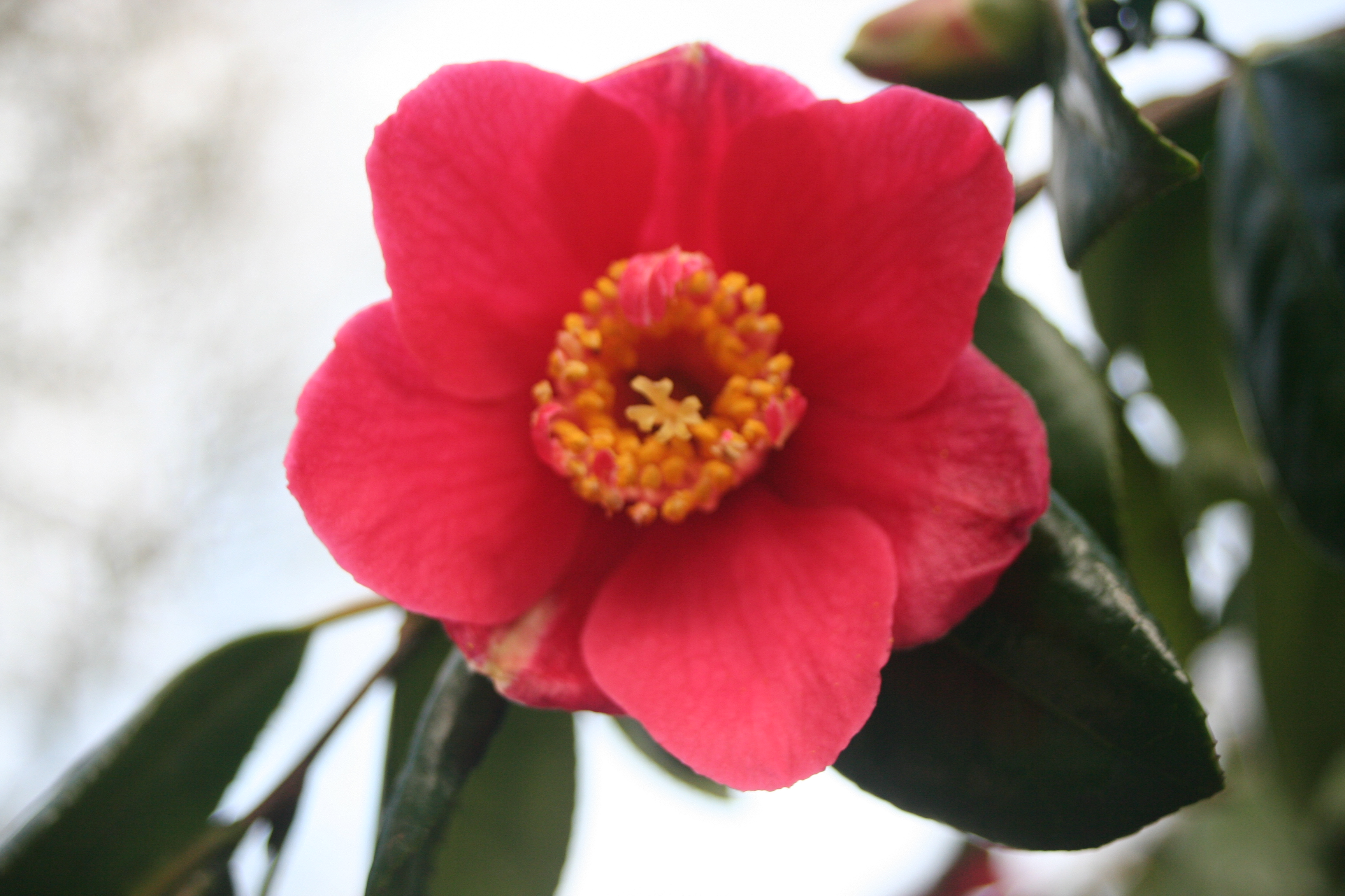 Camellia japonica subsp.japonica possibly (1)