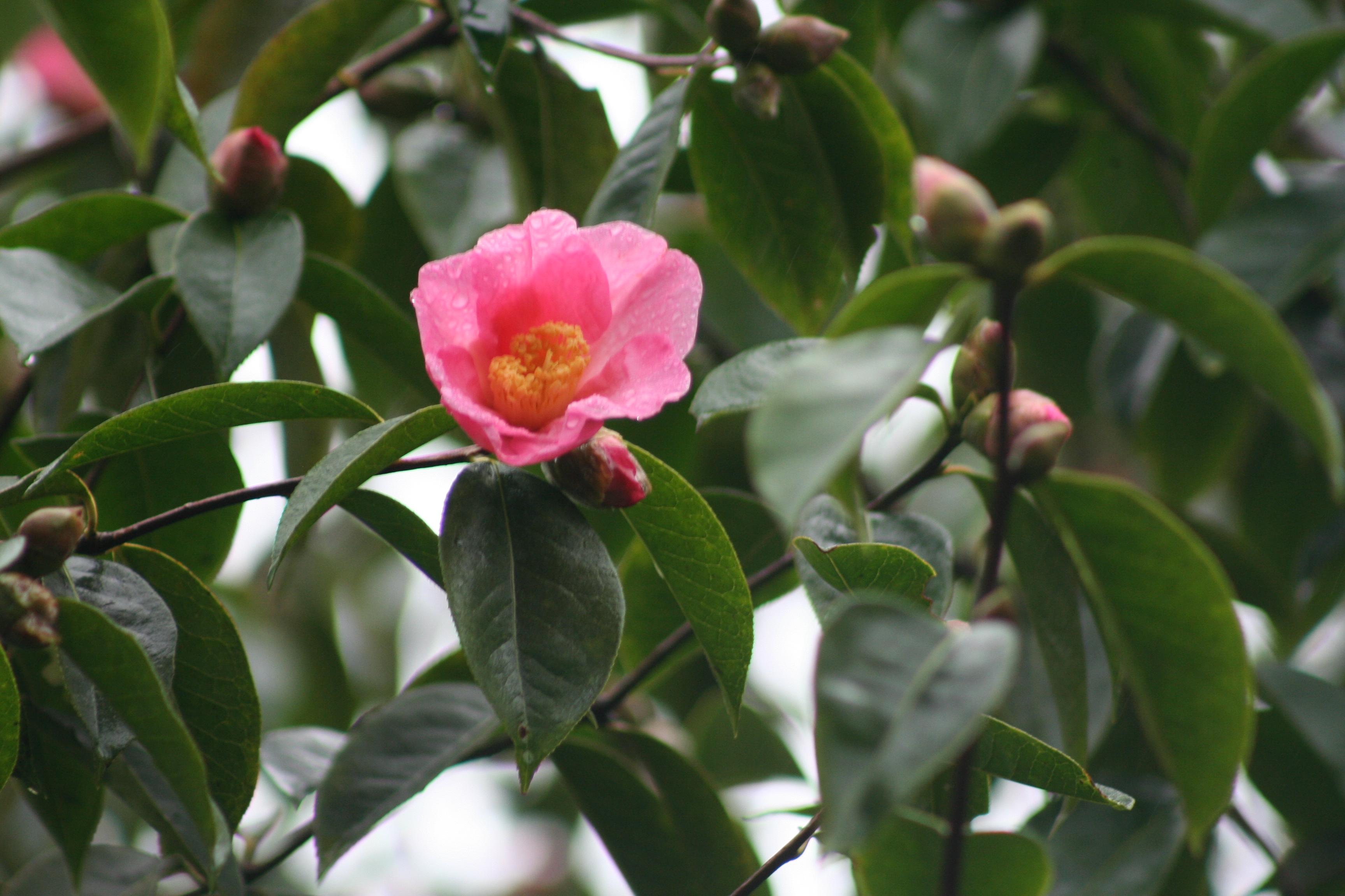 Camellia reticulata wild form (5)