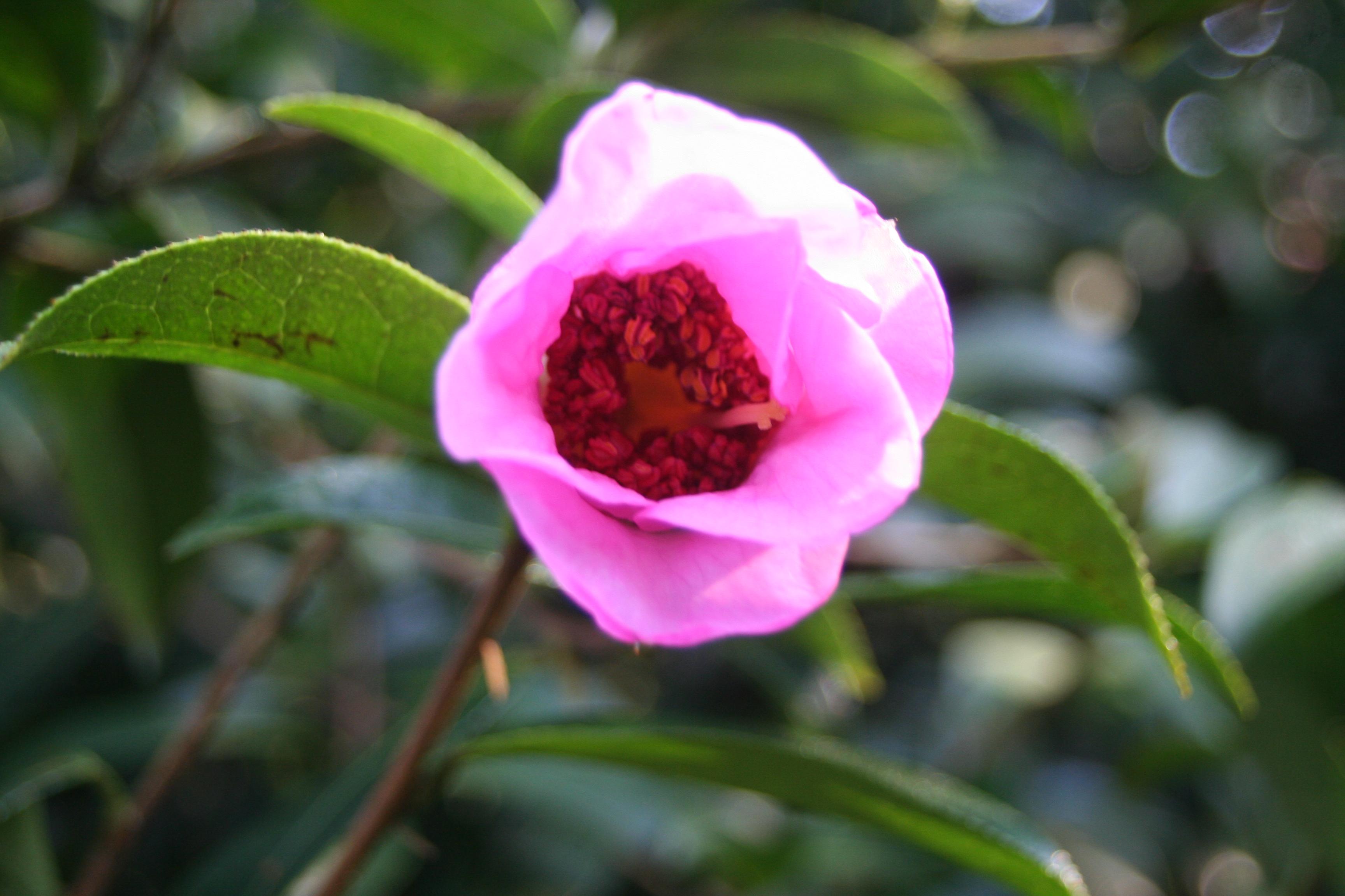 Camellia saluenensis 'Rafe' Feb 2018 (8)