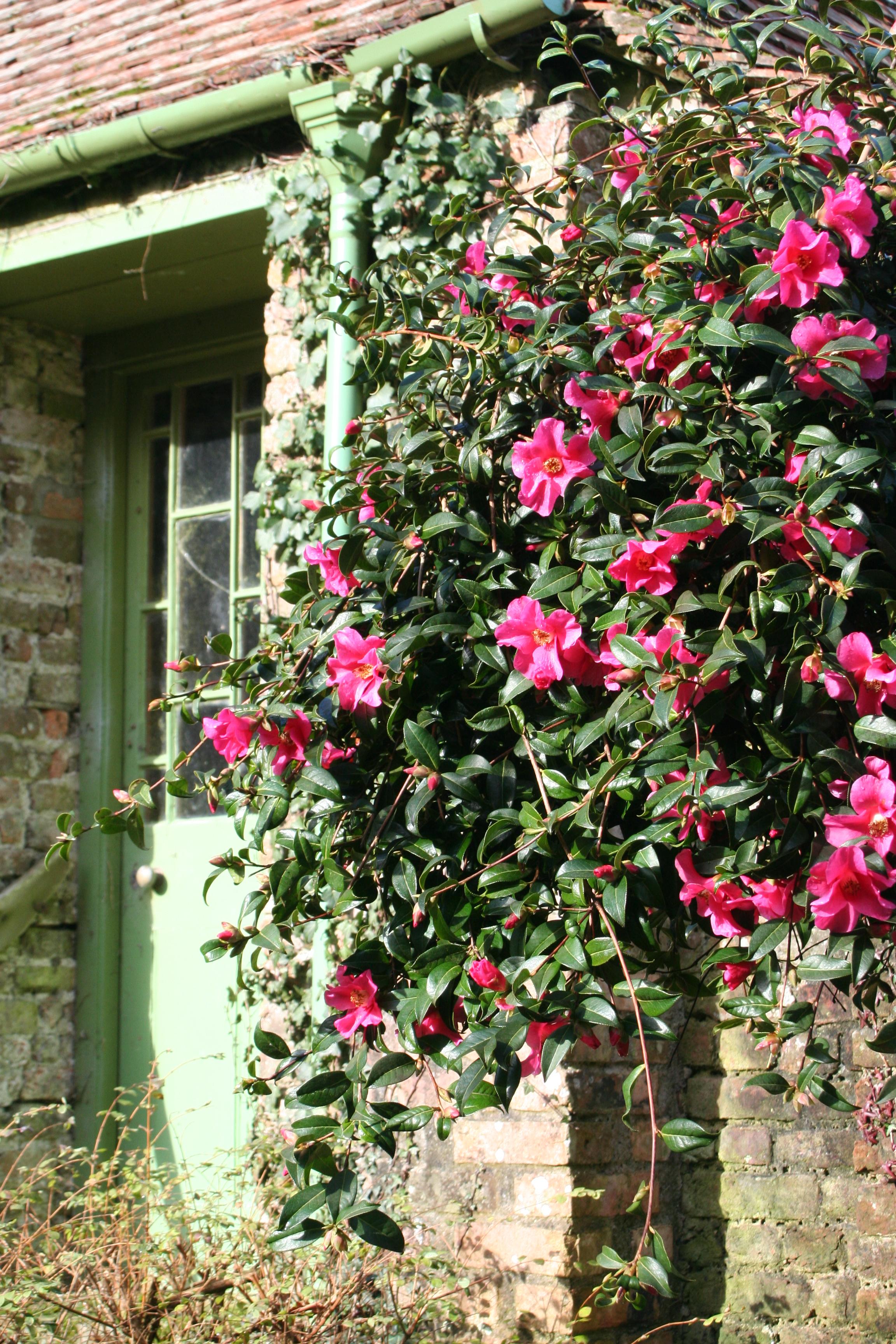 Camellia saluenensis 'Trewithen Red' 2011 (2)
