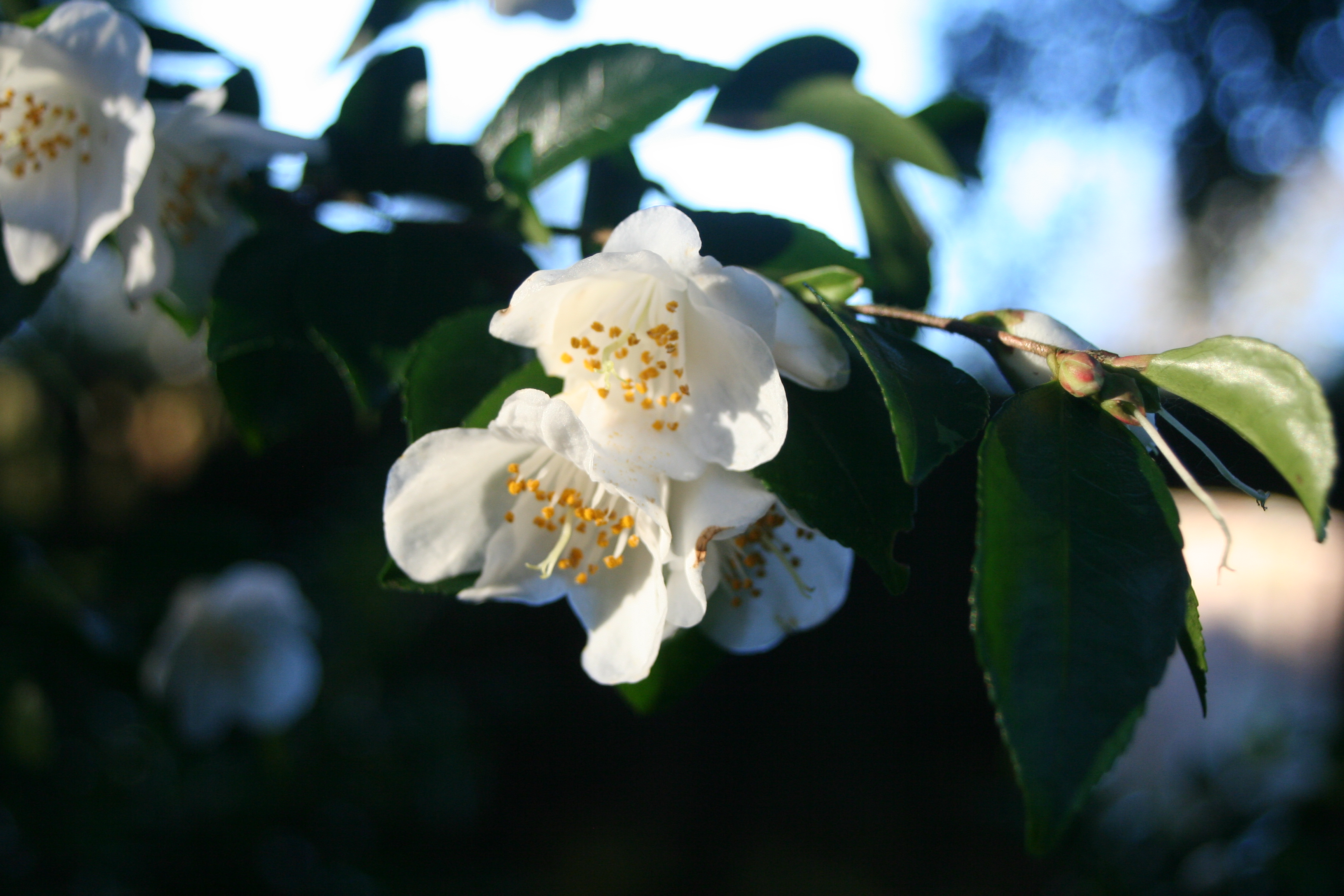 Camellia transnokoensis 2012 (1)