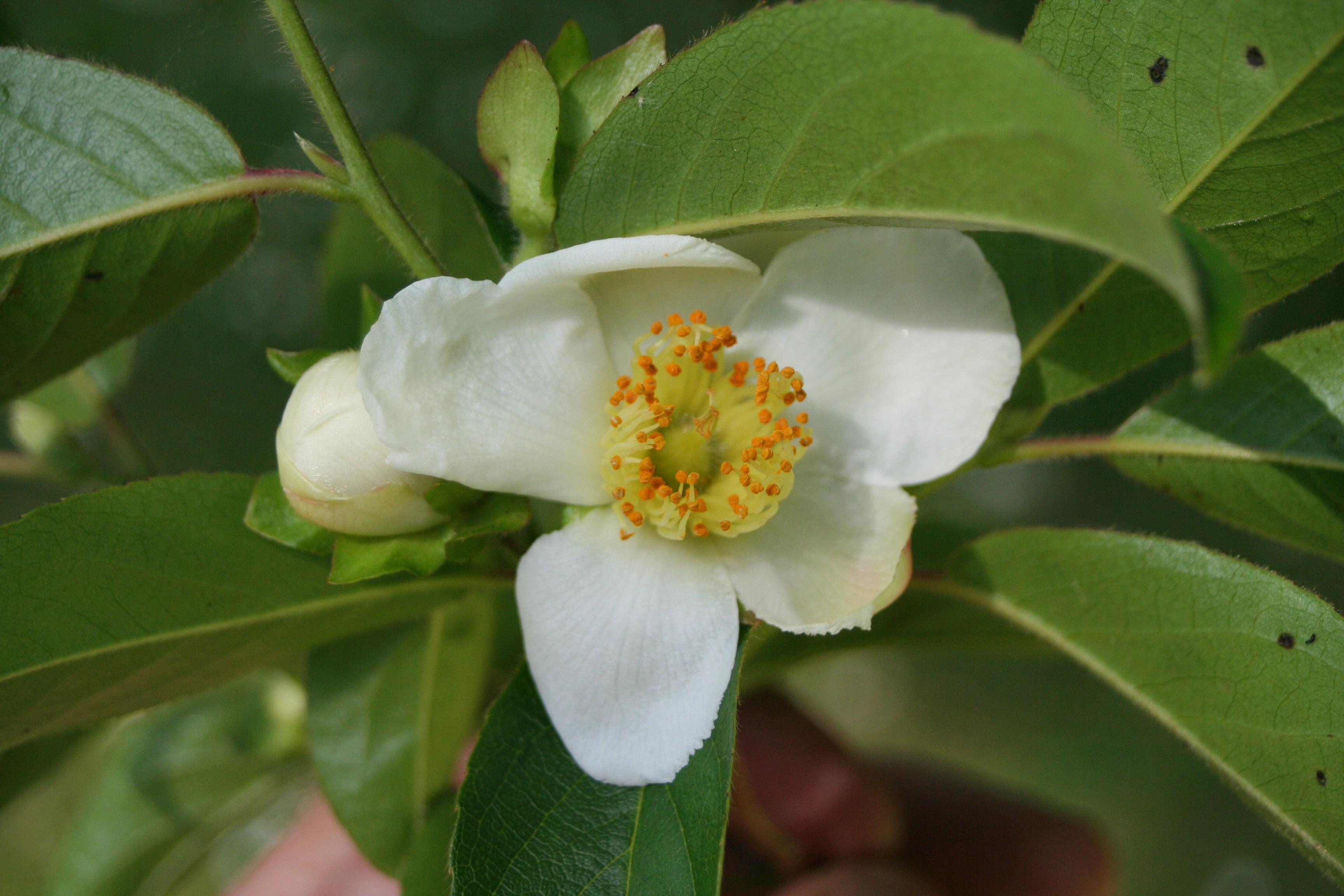 Stewartia sinensis 002